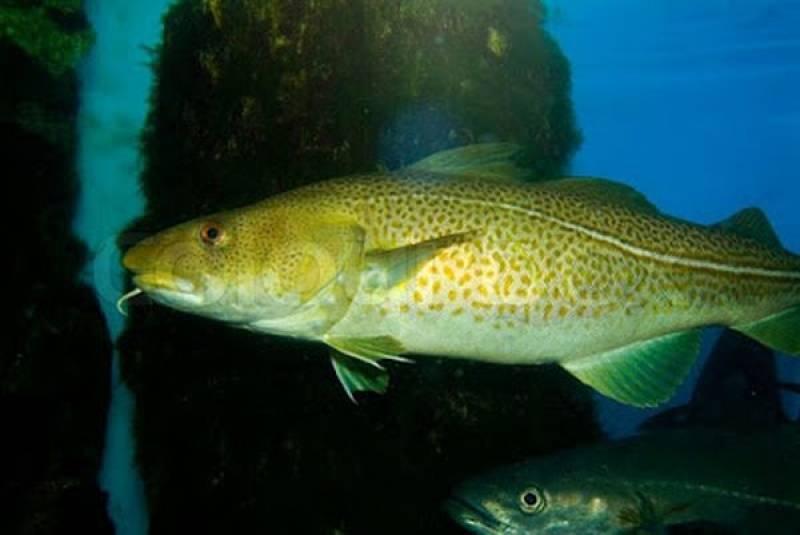 Μπακαλιάρος (βακαλάος) ψάρι πλούσιο σε ασβέστιο, μαγνήσιο, φωσφόρο, σίδηρο, κάλιο, Β12 και Ω3 λιπαρά - Γιατί καθιερώθηκε ο μπακαλιάρος ως φαγητό της 25ης Μαρτίου;